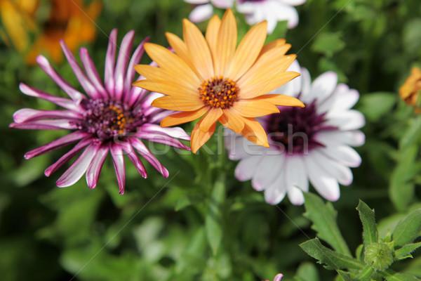 flowers Stock photo © nenovbrothers