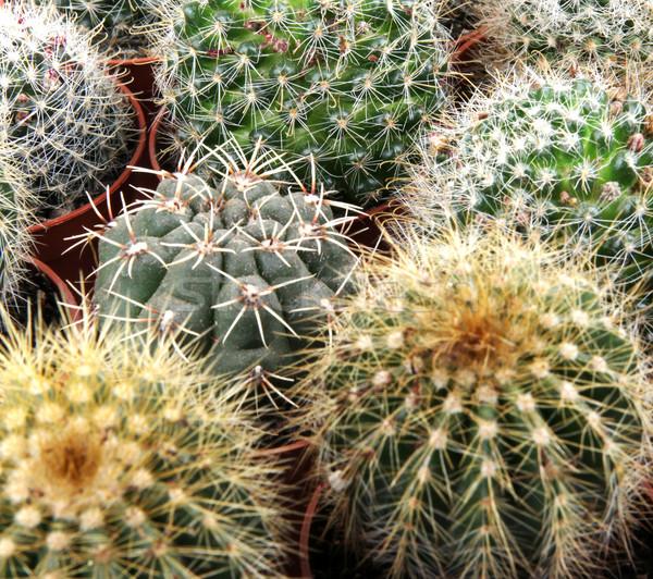 Cactus texture foglia giardino deserto terra Foto d'archivio © nenovbrothers
