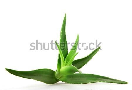 Aloés planta isolado branco médico natureza Foto stock © nenovbrothers