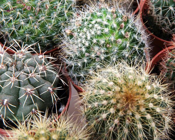 Kaktus tekstury liści ogród pustyni ziemi Zdjęcia stock © nenovbrothers