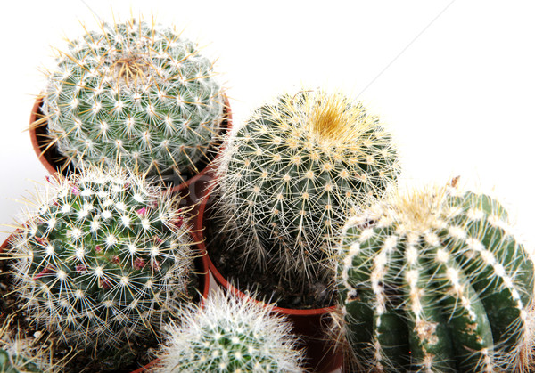 Kaktusz izolált fehér sivatag zöld szín Stock fotó © nenovbrothers