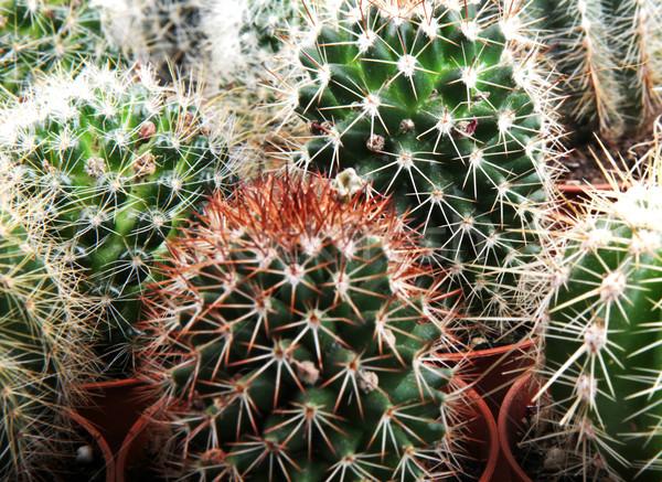 Kaktusz textúra levél kert sivatag Föld Stock fotó © nenovbrothers