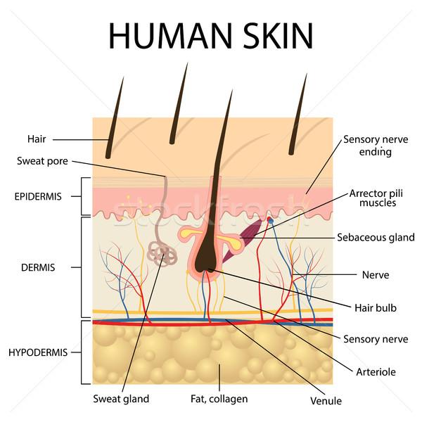 Illustration of human skin anatomy. Stock photo © Neokryuger