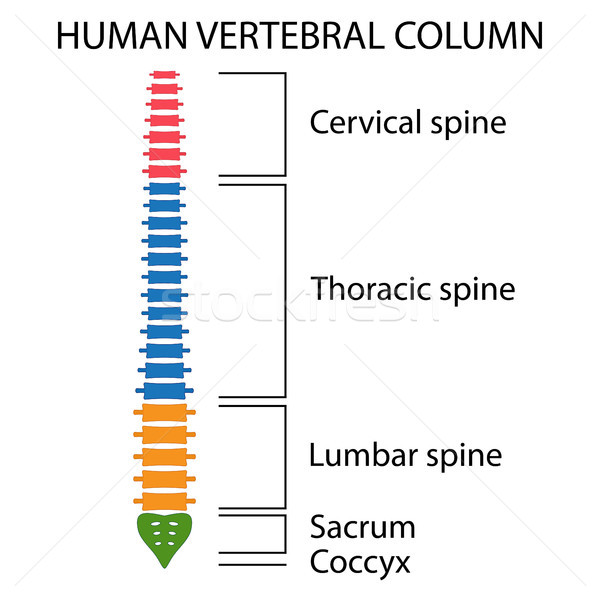 Vertebral Column spine structure. Stock photo © Neokryuger
