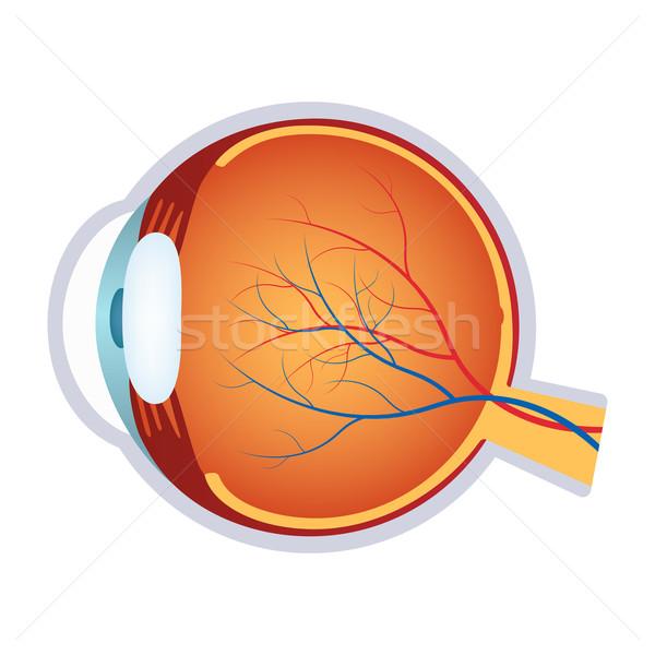 ストックフォト: 実例 · 人間 · 眼 · 解剖 · 白