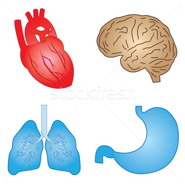 Human organs. Stock photo © Neokryuger