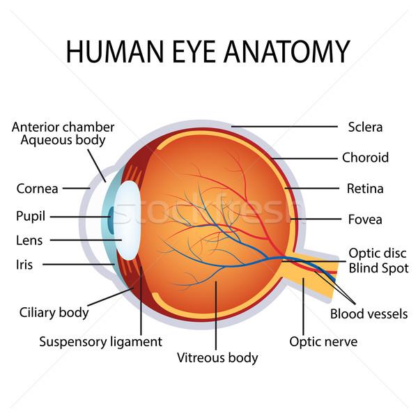 Ludzi oka anatomii ilustracja biały medycznych Zdjęcia stock © Neokryuger