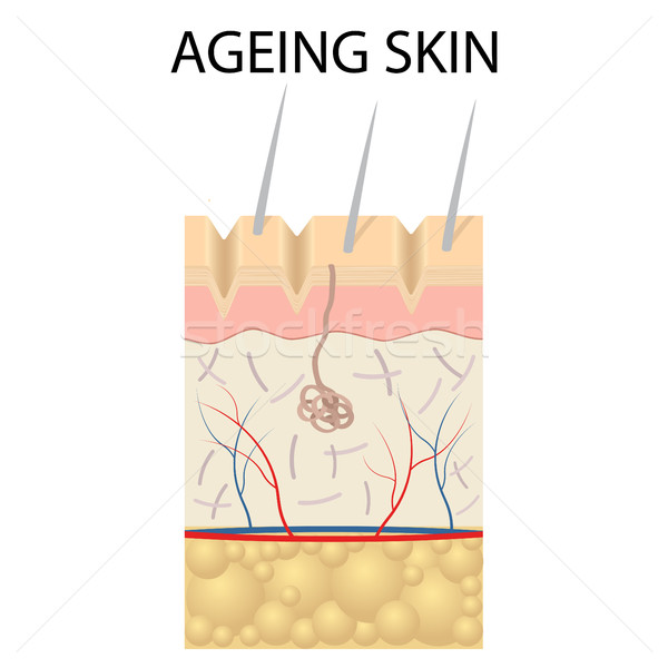 Old skin anatomy. Stock photo © Neokryuger