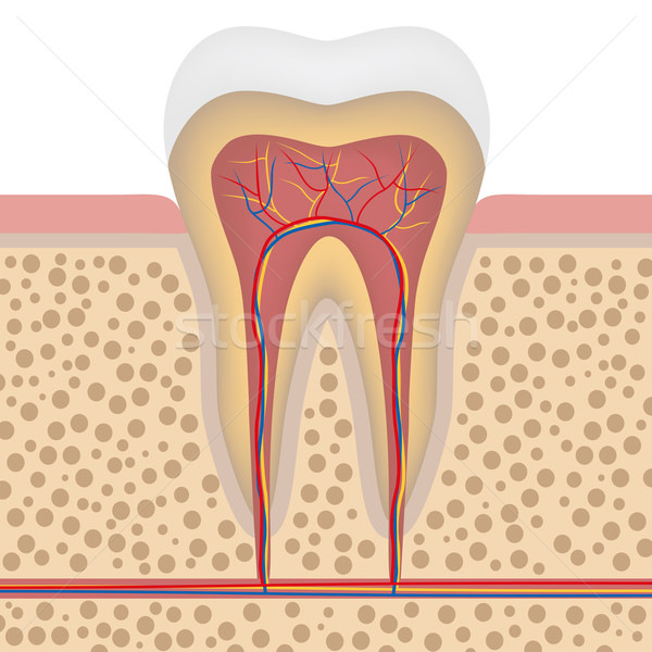 Healthy white tooth, detailed anatomy Stock photo © Neokryuger