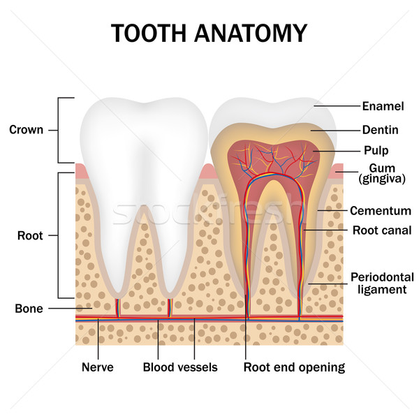 Anatomy of teeth Stock photo © Neokryuger