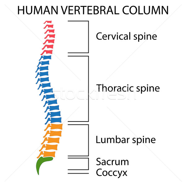 Diagram of a human spine. Stock photo © Neokryuger