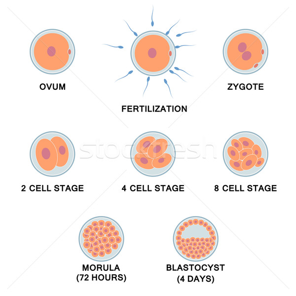 Development of the human embryo. Stock photo © Neokryuger
