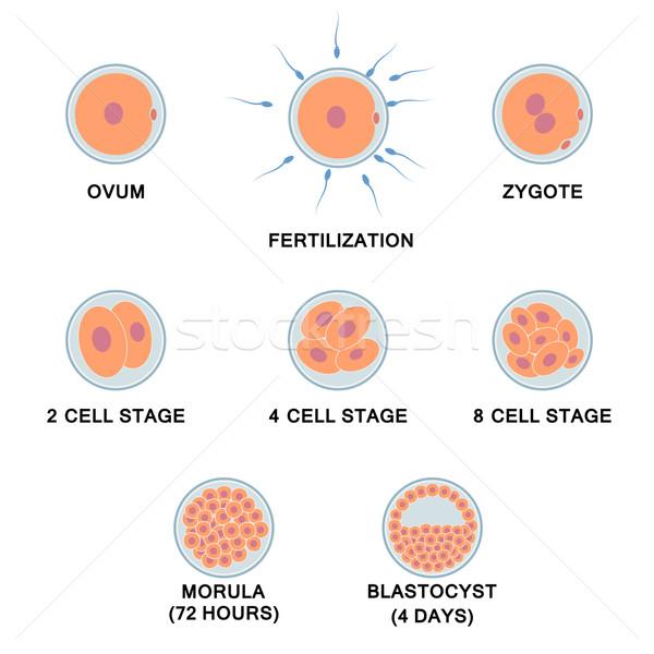 Fejlesztés emberi embrió képek orvosi természet Stock fotó © Neokryuger