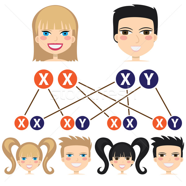 Gender dependency from chromosomes. Stock photo © Neokryuger