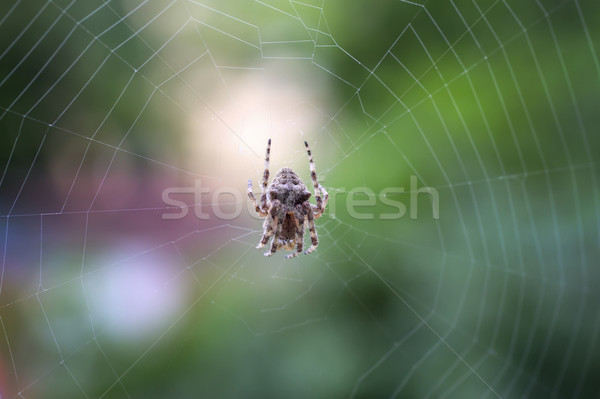 Spider on the web over green background Stock photo © nessokv