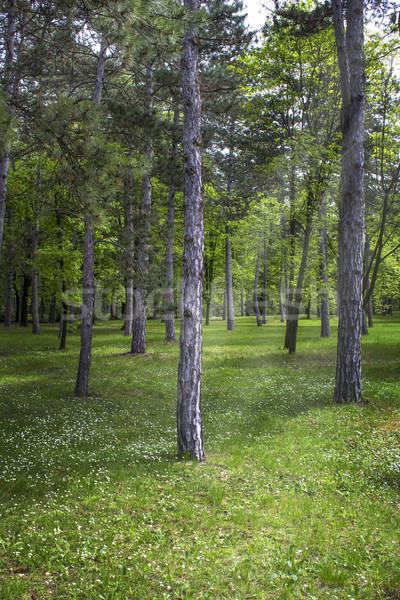 Foresta primavera alberi natura impianto Foto d'archivio © nessokv