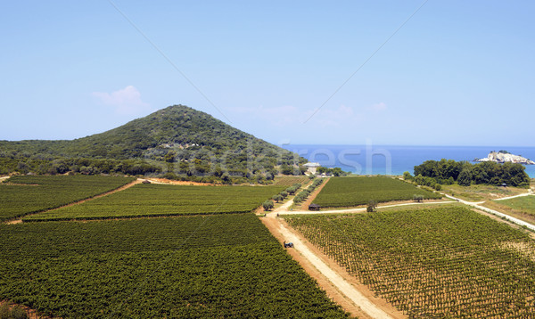 Fields of vineyards by the sea Stock photo © nessokv
