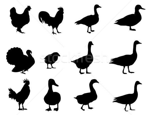 家禽 シルエット ファーム シルエット 動物 カモ ストックフォト © Nevenaoff