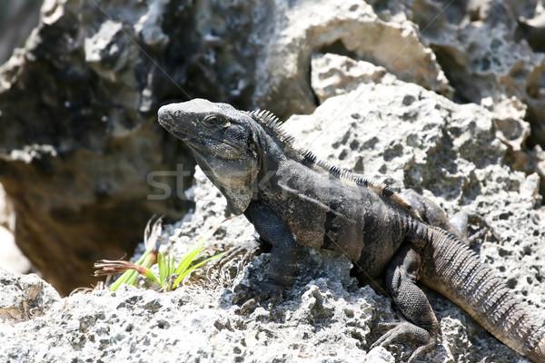 Iguana kő felnőtt pózol sziklaformáció természet Stock fotó © newt96