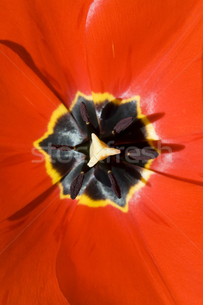 赤 チューリップ クローズアップ ショット オープン 春 ストックフォト © newt96