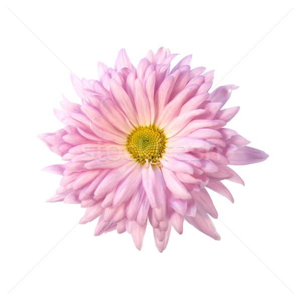 Różowy chryzantema kwiat szczegół piękna Daisy Zdjęcia stock © newt96