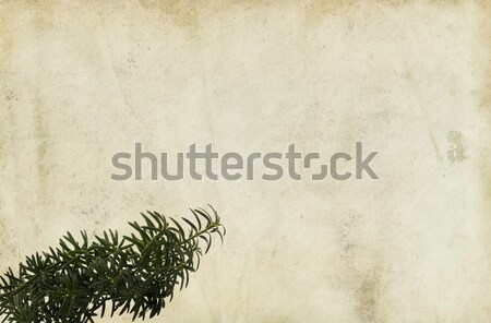 Conifer Branch on Old Paper Background Stock photo © newt96