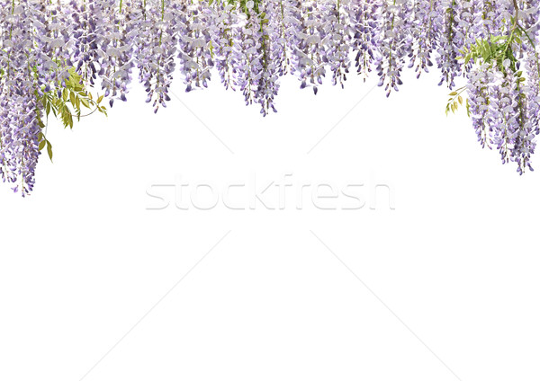 Wisteria Flower Curtains Stock photo © newt96
