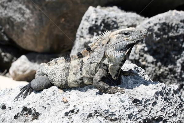 Leguaan volwassen rotsen natuur groene Stockfoto © newt96