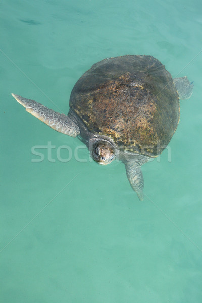 Green Sea Turtle Stock photo © newt96
