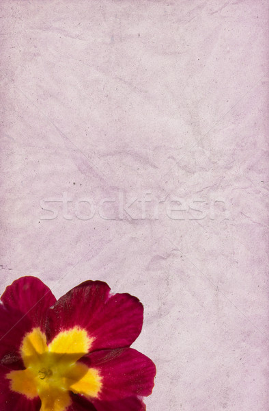 Crimson Primula Paper Background Stock photo © newt96
