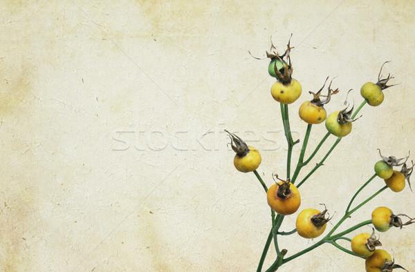 Martwych róż pęknięty starych kwiat wzrosła Zdjęcia stock © newt96