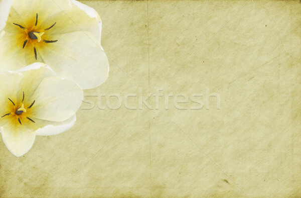 古い 汚い 紙 白 チューリップ チューリップ ストックフォト © newt96