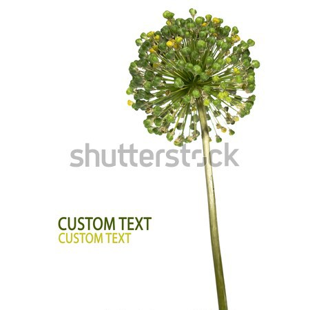 Zdjęcia stock: Kwiat · szczegół · odizolowany · biały · wiosną