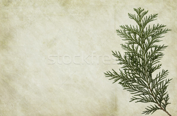 Old Paper with Thuja Foliage Stock photo © newt96