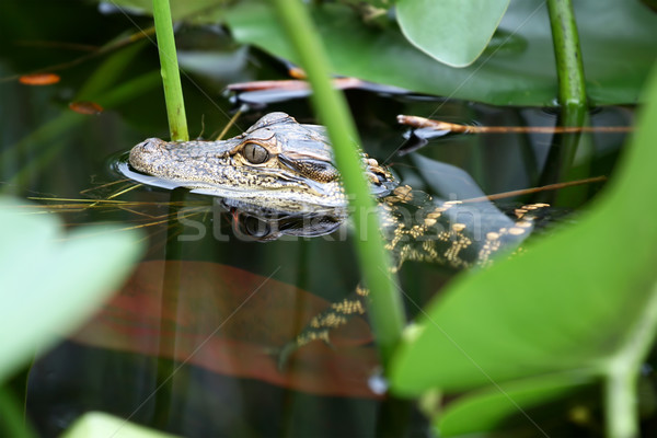 Young Alligator Stock photo © newt96