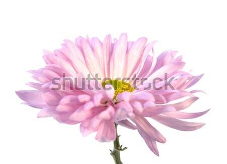 Rózsaszín krizantém részlet merő fehér virág Stock fotó © newt96