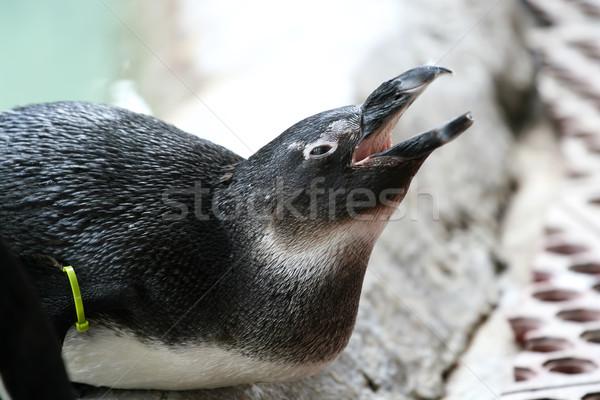 Penguen esaret Afrika okyanus siyah kafa Stok fotoğraf © newt96