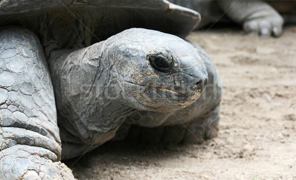 Giant Tortoise Portrait Stock photo © newt96