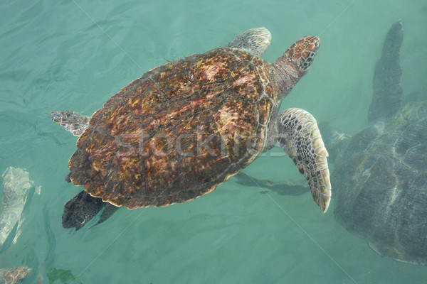 Sea Turtle in the Water Stock photo © newt96