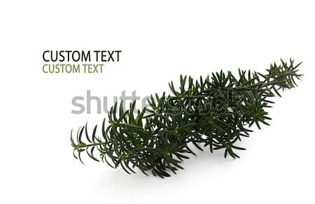 Conifer Branch Stock photo © newt96