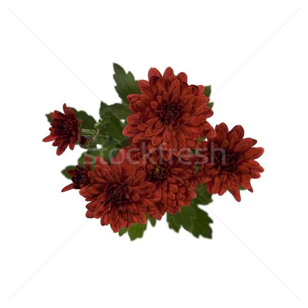 Hochrot Chrysantheme Blumen weiß Raum Stock foto © newt96