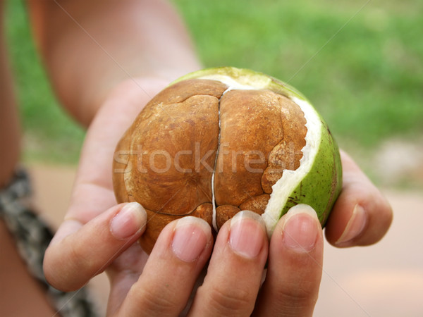 Partially Uncovered Palm Seeds Stock photo © newt96
