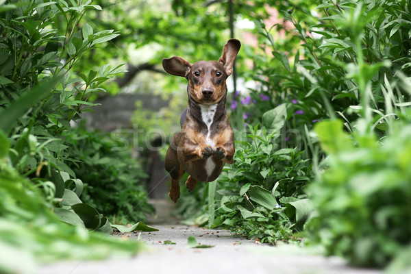 Running Dachshund Stock photo © newt96