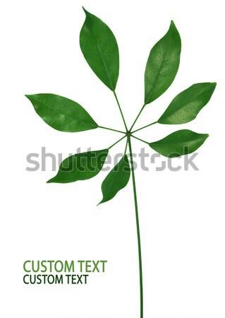 Zdjęcia stock: świeże · zielony · liść · odizolowany · biały · charakter