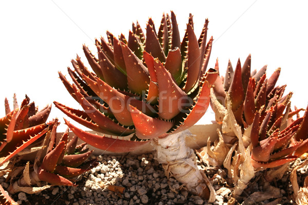 Red Succulent Plant Stock photo © newt96