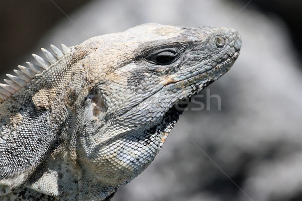 Leguaan profiel volwassen hagedis natuur Stockfoto © newt96