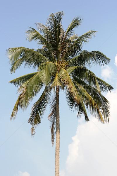 Palm tree-top Stock photo © newt96