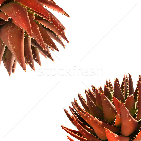 Rouge succulent plantes pur blanche peuvent Photo stock © newt96