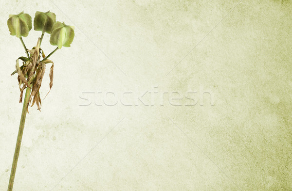 Matured Lily over Light Green Stained Background Stock photo © newt96