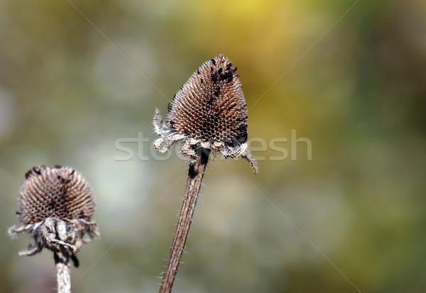Bitki makro resim sonbahar Stok fotoğraf © nialat